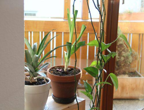 Aus Lauchwurzel und Ananaskrone neue Pflanzen ziehen